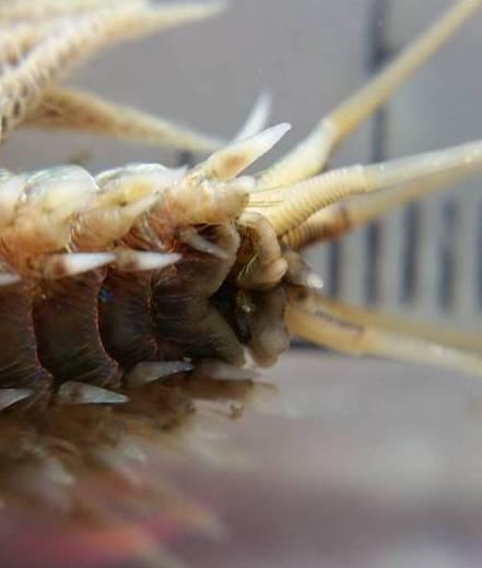 Knysna moonshine worm